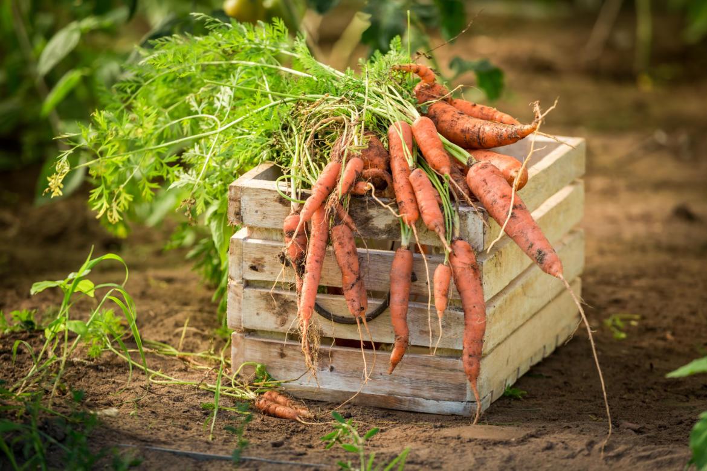 Как хранить морковь на зиму в квартире