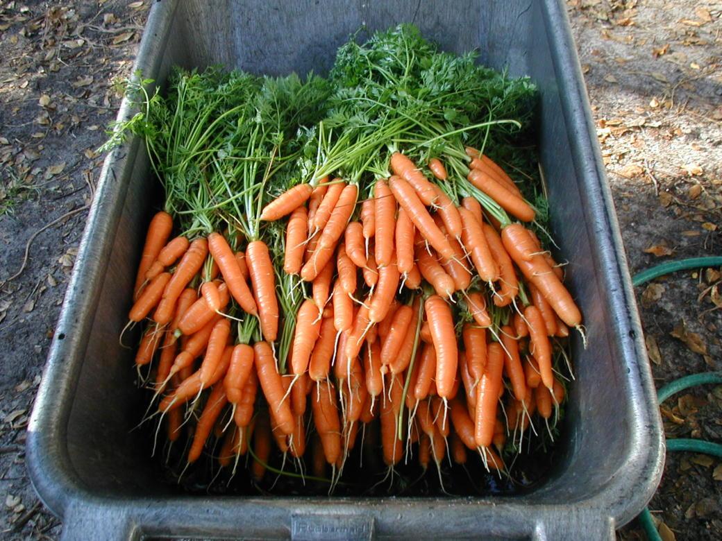 Как правильно хранить морковь в погребе?
