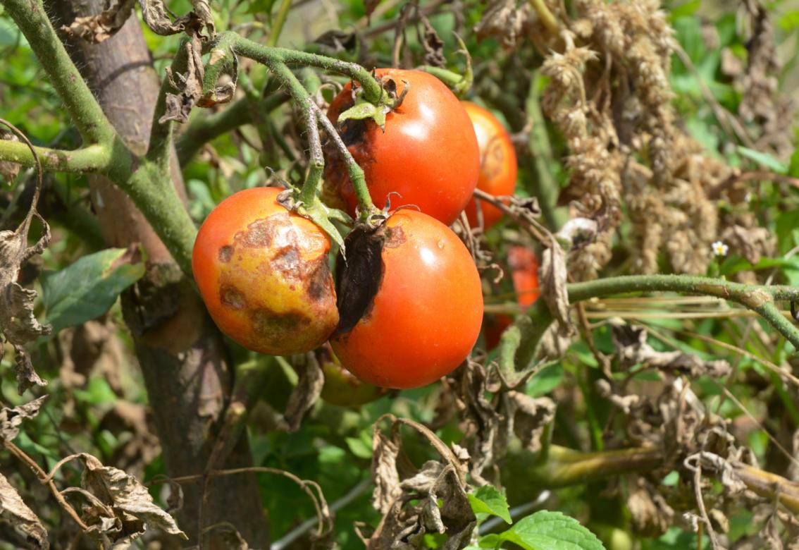 Гусеница на помидорах методы борьбы