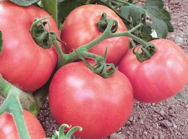 Томат малиновый рай характеристика и описание сорта урожайность с фото