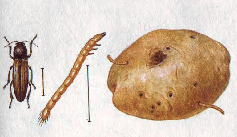 Клубень после личинки проволочника