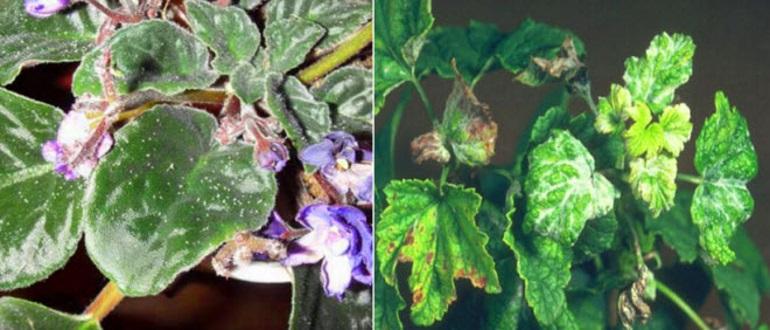 Как избавиться от тли на комнатных растениях и цветах