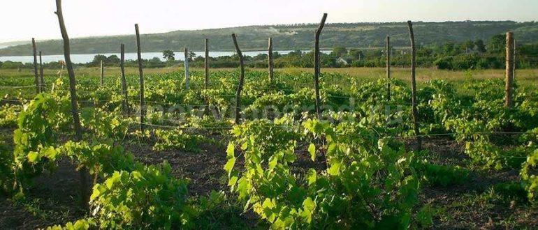 Чем обработать виноград весной: первая обработка ранней весной