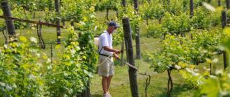 Опрыскивание винограда купоросом