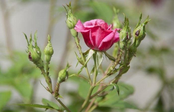 Тля на розах