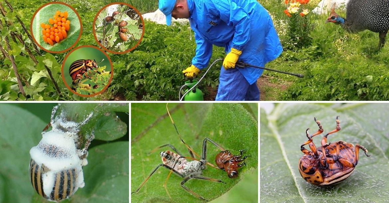 Колорадский жук борьба