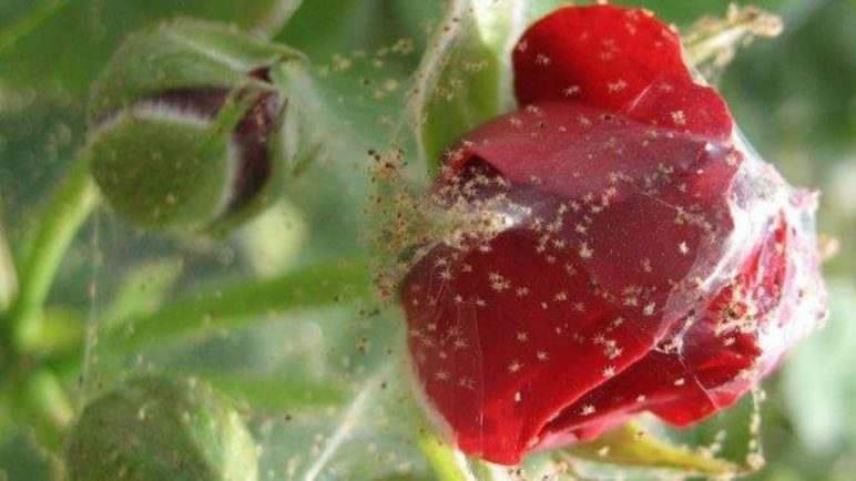 Роза в горшке покрылась паутиной