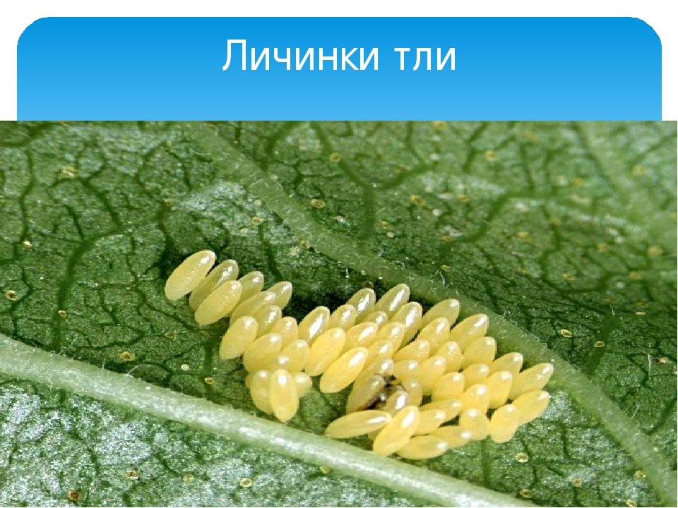 личинки тли как выглядят