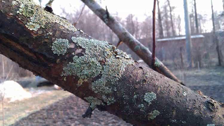 Заболевания плодовых деревьев, лишайник