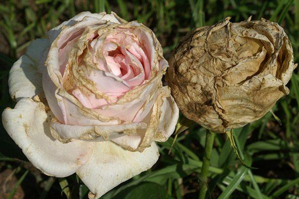 Болезнь бутонов роз