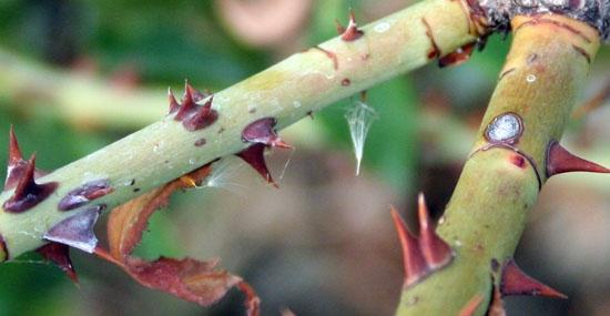 Развитие некроза тканей коры