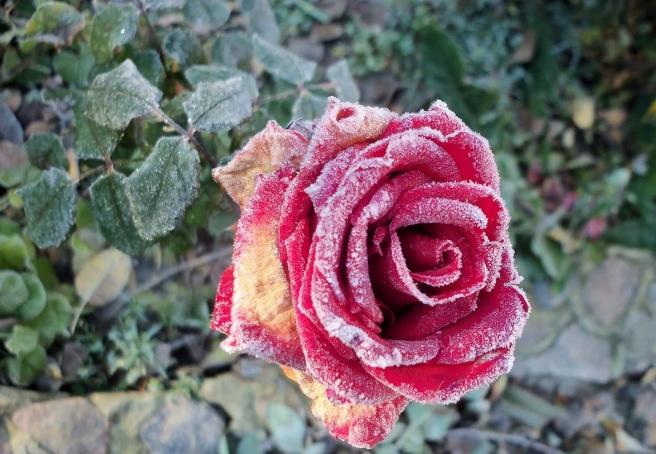 Мучнистая роса на розе