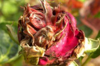 Болезни роз весной