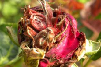 Заболевания садовых роз