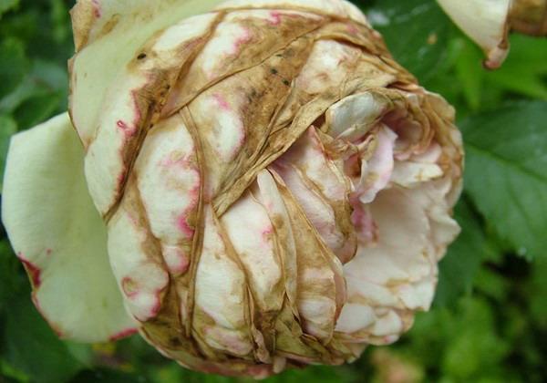 Увядание роз