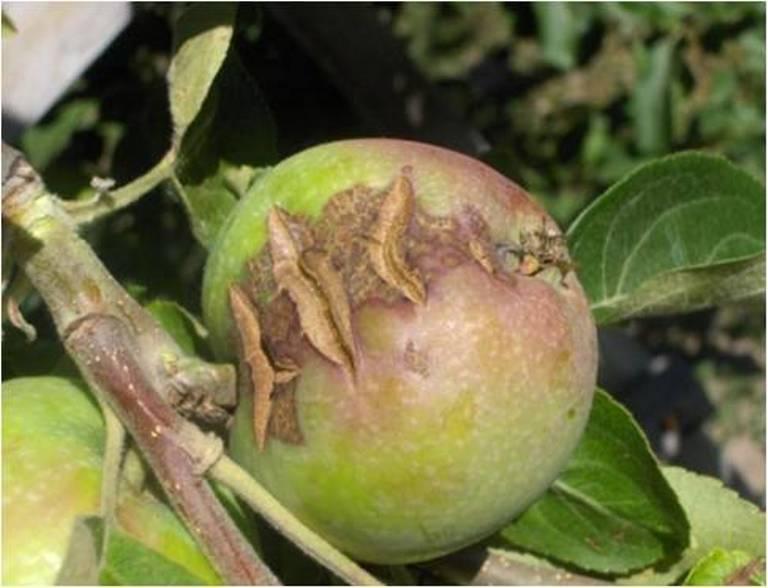 Звездчатое растрескивание яблок