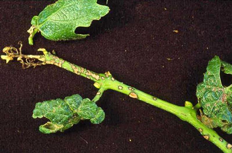 Болезнь эутипоз стеблевой поражает места обрезки веток винограда