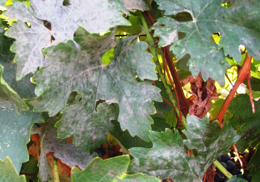 Мучнистая роса - распространенная болезнь винограда