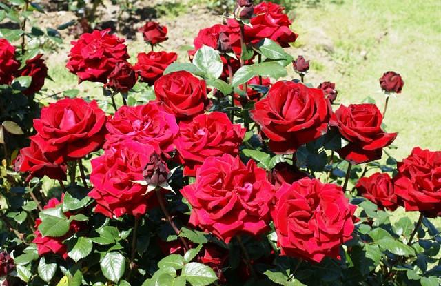 Сорт розы.