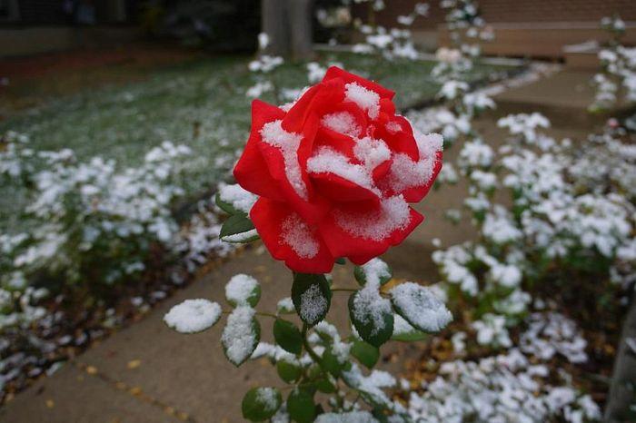 Подготовка роз к зиме. Как правильно подготовить розы к зиме