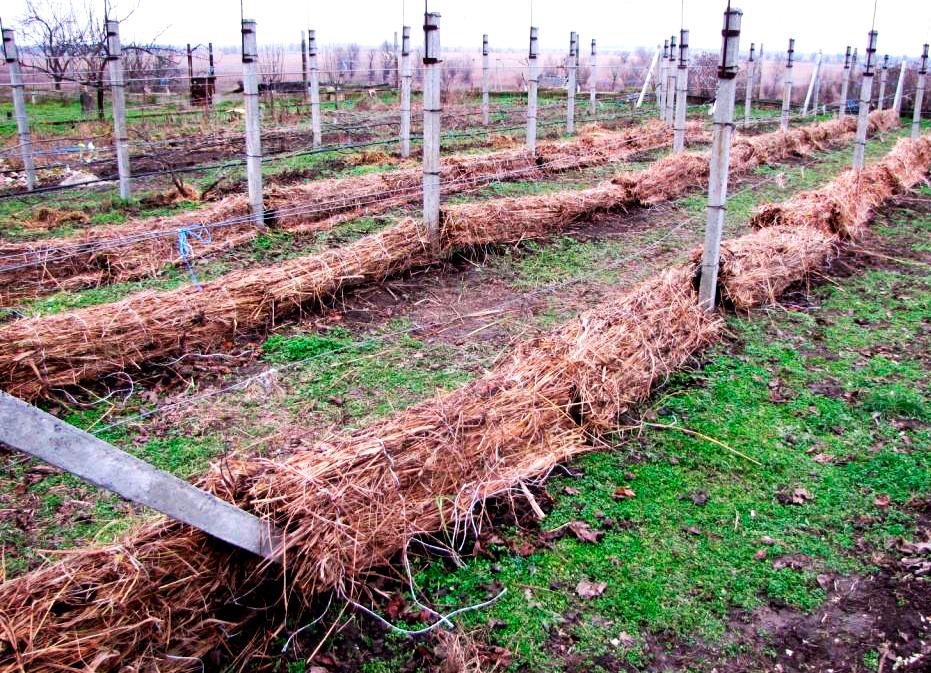 Сроки укрывания винограда на зиму и оптимальная температура
