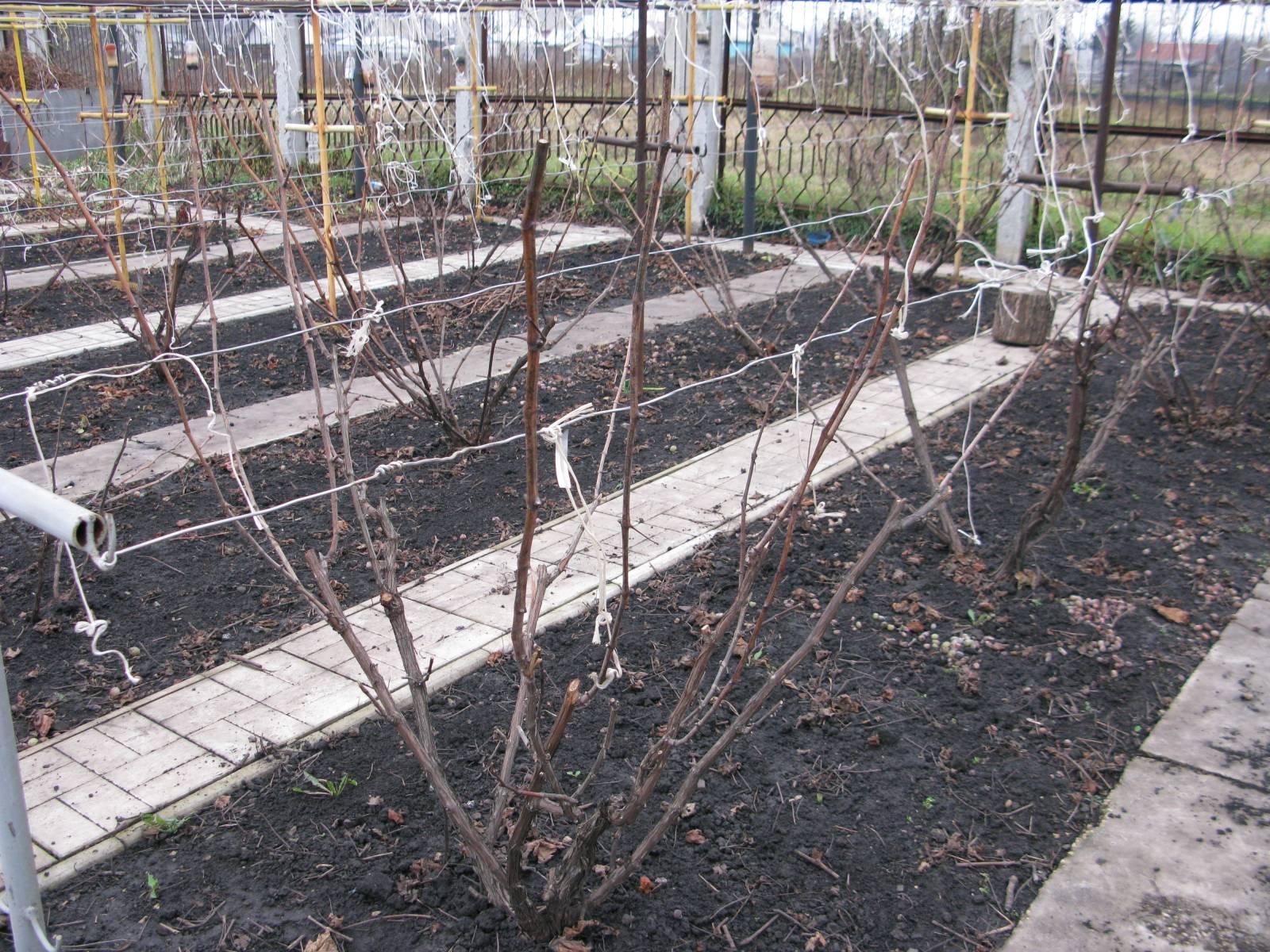 Укрытие винограда на зиму - важная часть осенних работ в саду