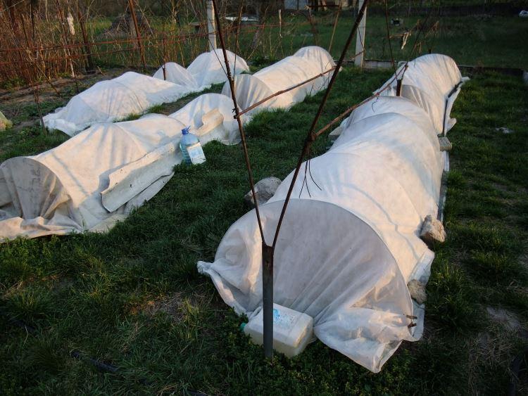 Пленочное укрытие винограда на зиму