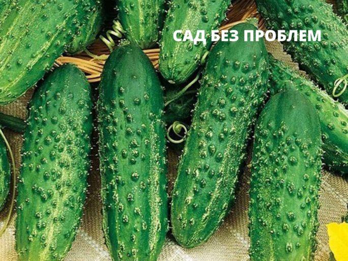 Артист - партенокарпический гибрид для выращивания в открытом грунте