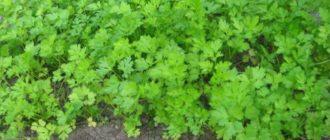 Если семена петрушки замочить перед посадкой в водке, то она взойдет раньше на 5-7 дней