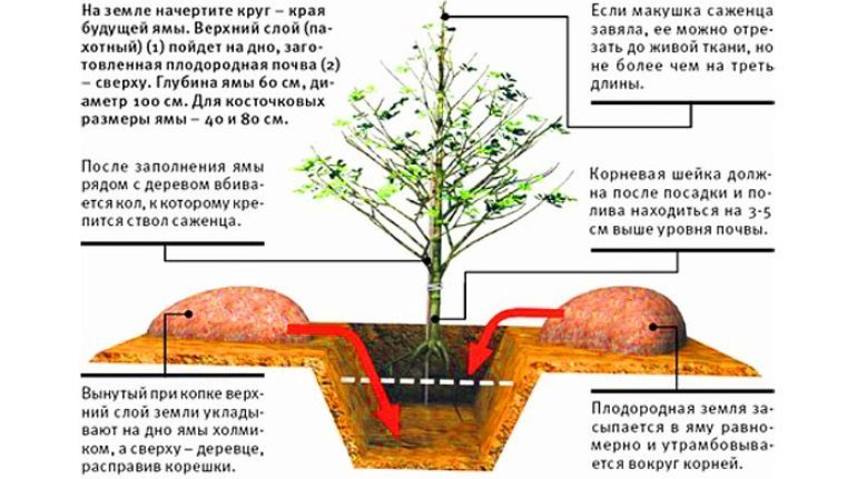 Инструкция по посадке яблони в одной картинке