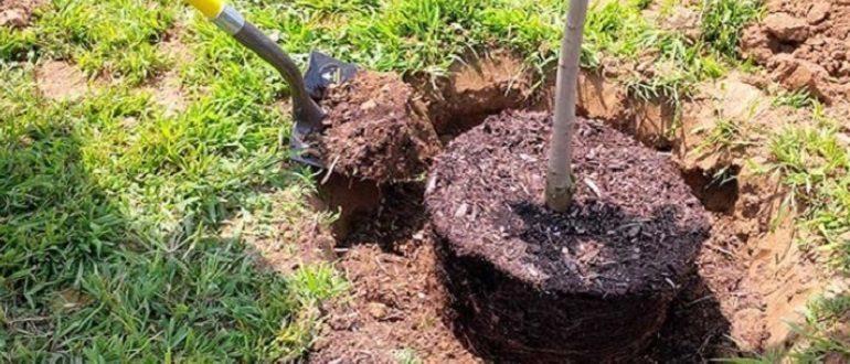 Для яблонь с закрытой корневой системой важно не повредить земляной ком при посадке