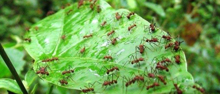 С муравьями на участке нужно бороться, ведь они могут значительно попортить урожай