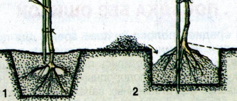 Схема посадки саженца в яму - справа правильный вариант, слева - неправильный