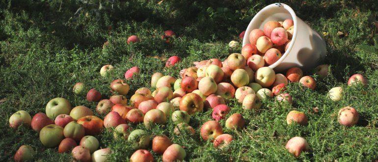 Такой урожай яблок можно собрать в своем саду даже с одного небольшого дерева