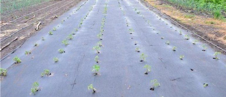 Укрывной материал позволит получит ранний урожай картофеля